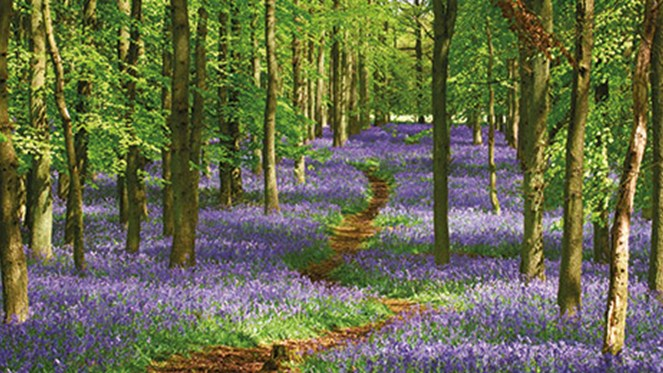 chiltern-2018-bluebell-woods