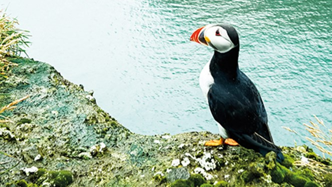 highlands-and-islands-2018-puffin